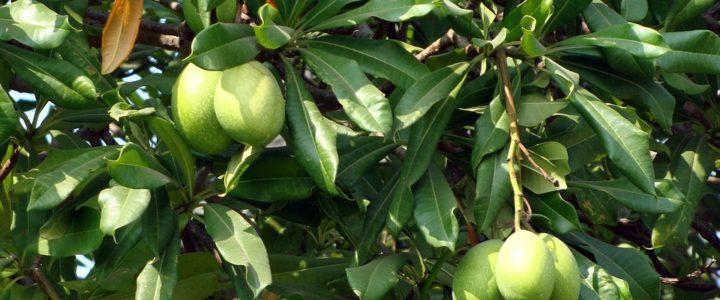 Mango Sapling in Delhi